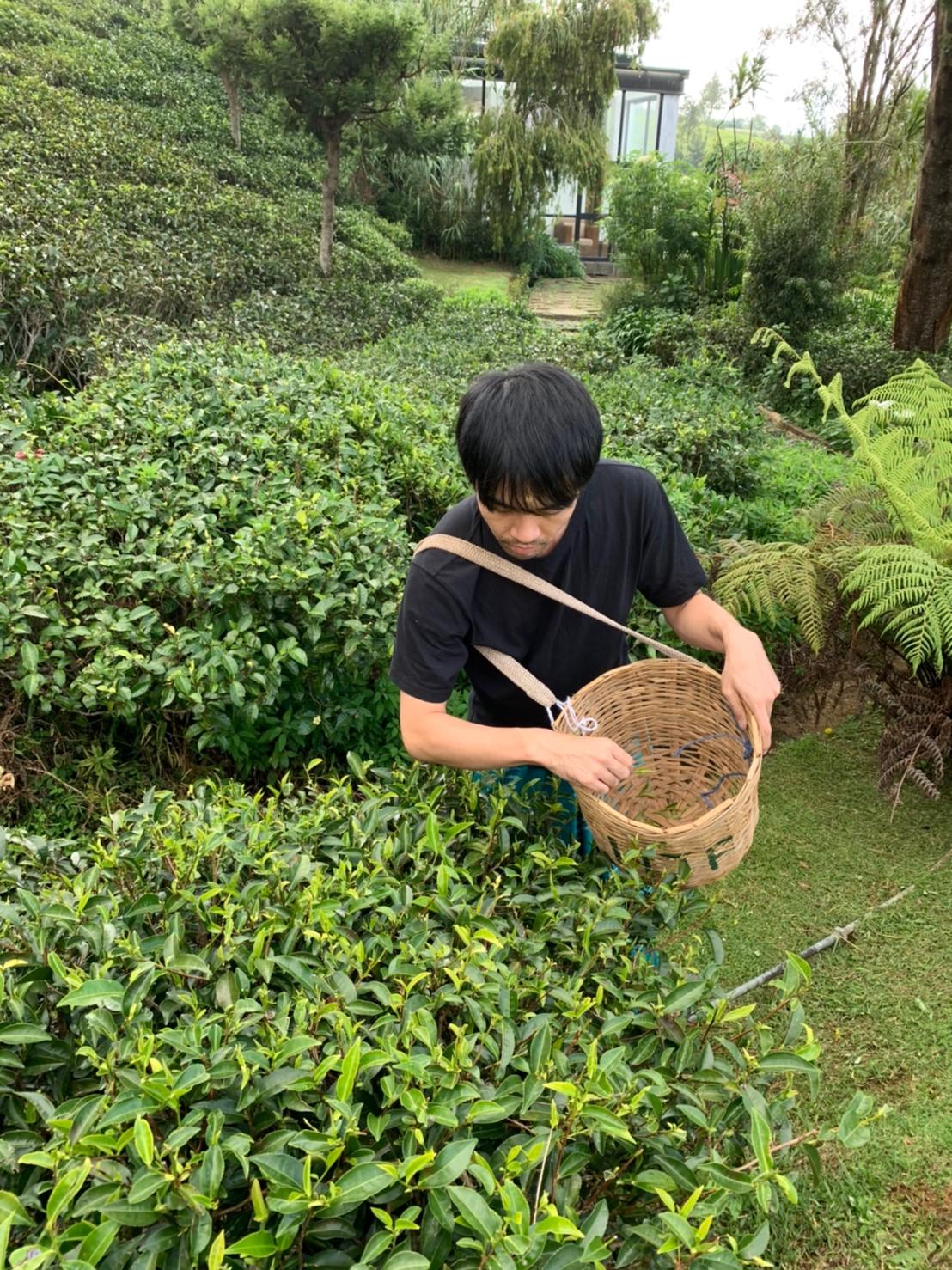 茶摘み体験の様子