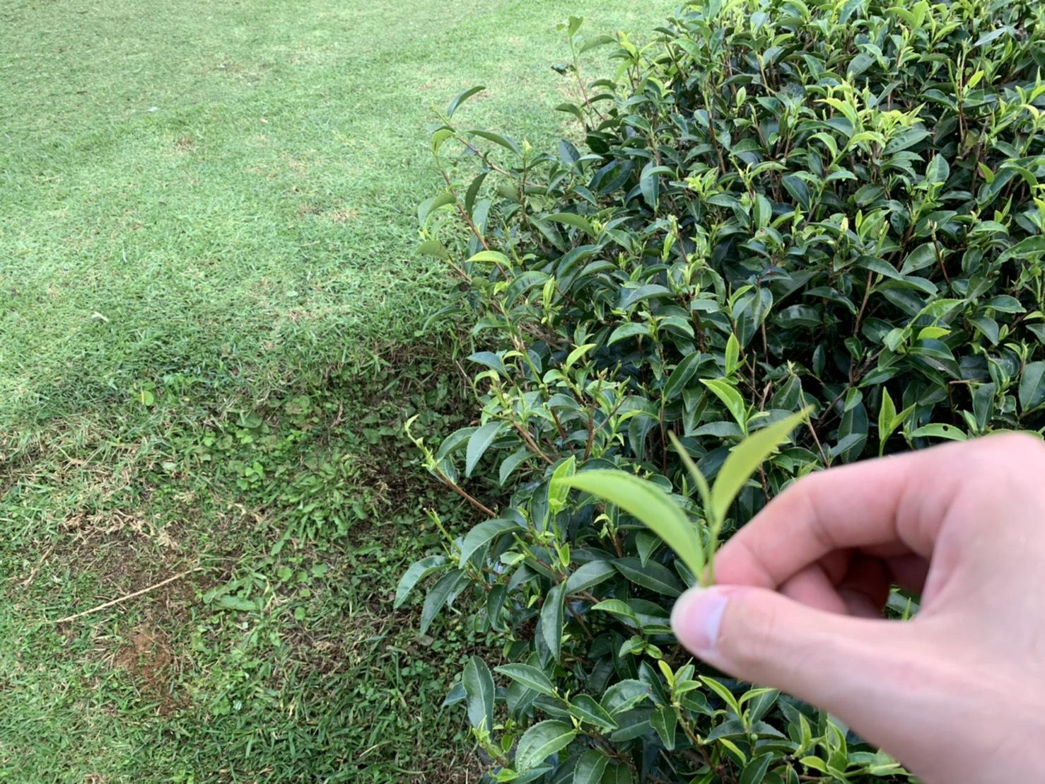摘み取った茶葉