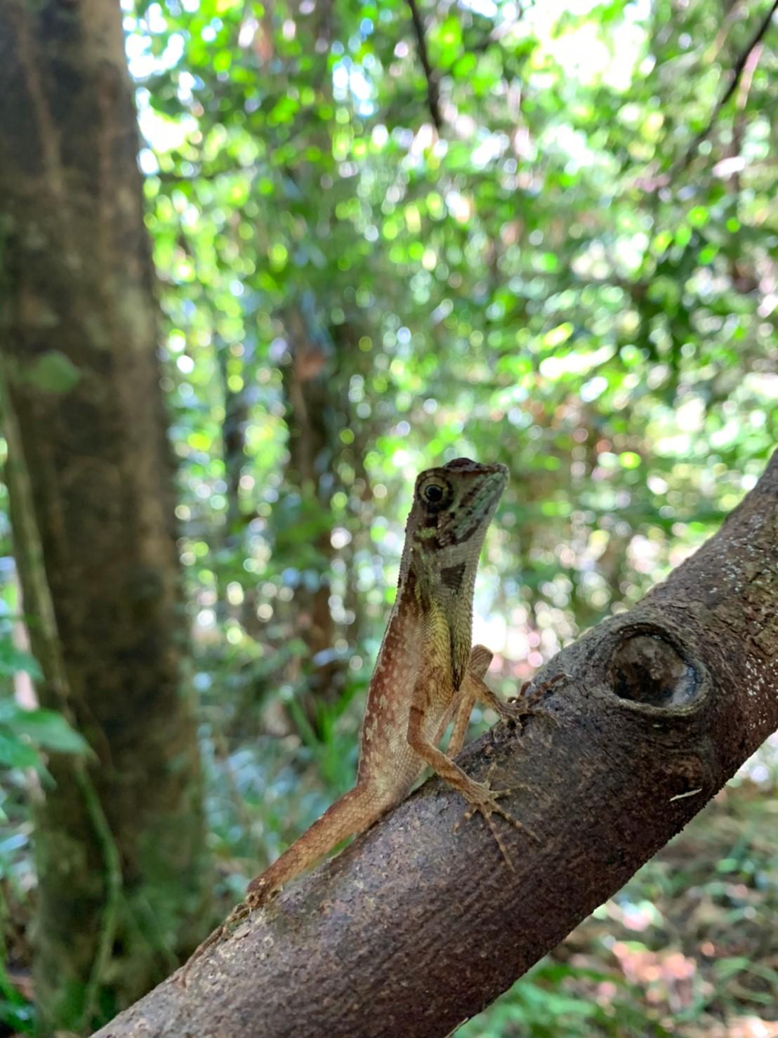 シンハラジャ森林保護区のトカゲ